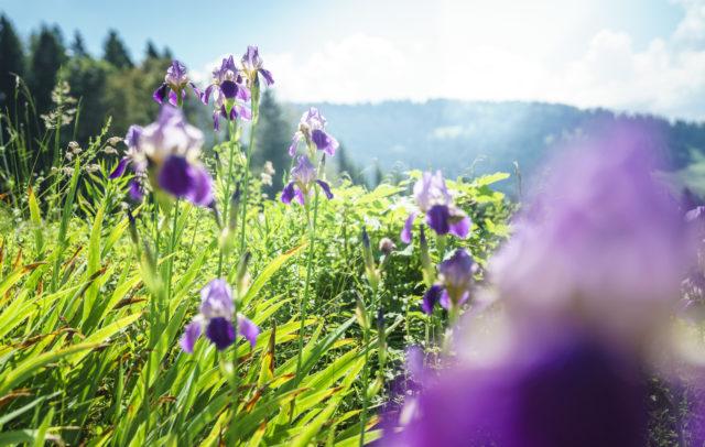 Alpe Streichbrunnen Iris (c) Dietmar Denger - Vorarlberg Tourismus